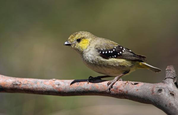 Forty Spotted Pardalote - Inala Nature Tours - Chris Tzaros