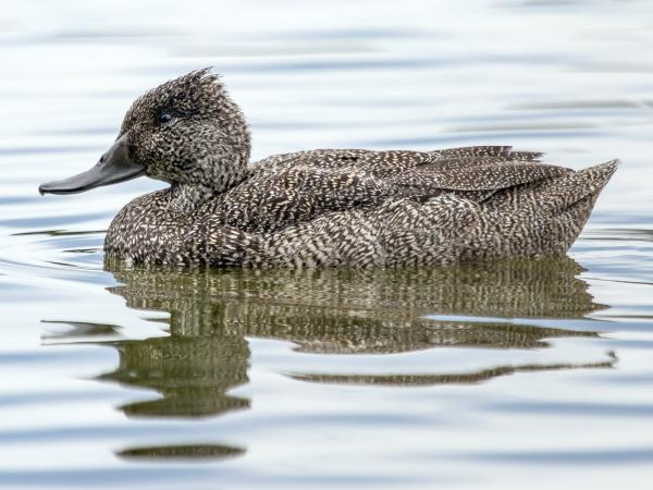 Ramit Singal - Freckled Duck - Inala Nature Tours
