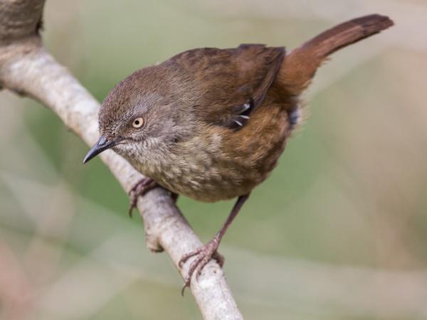 Ramit Singal - Tasmanian Scrubwren - Inala Nature Tours