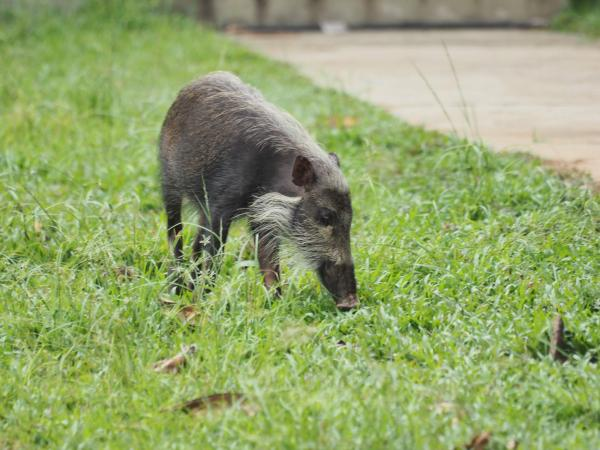 Bearded Pig - M. Hendry - Inala Nature Tours