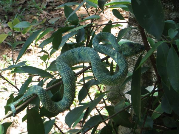 Green Viper - M. Hendry - Inala Nature Tours
