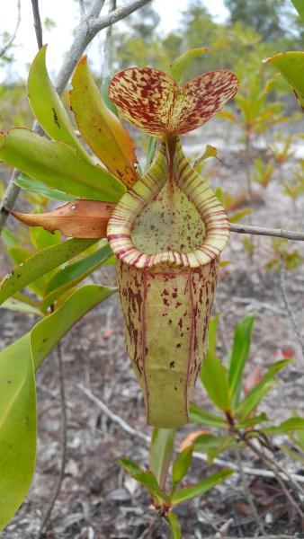Nepenthes - M. Hendry - Inala Nature Tours