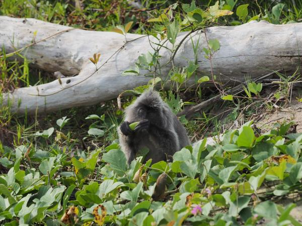 Silver Langur - M. Hendry - Inala Nature Tours