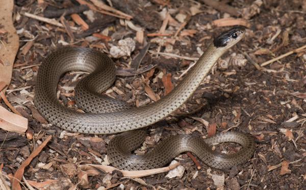 Grey Snake - Angus McNab - Inala Nature Tours
