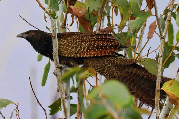 Pheasant Coucal - Rod Hartvigsen - Inala Nature Tours