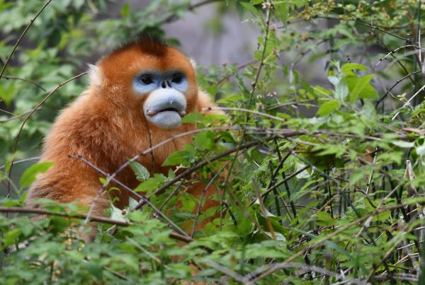Golden Snub-nosed Monkey - Philip He - China Sichuan - Inala Nature Tours