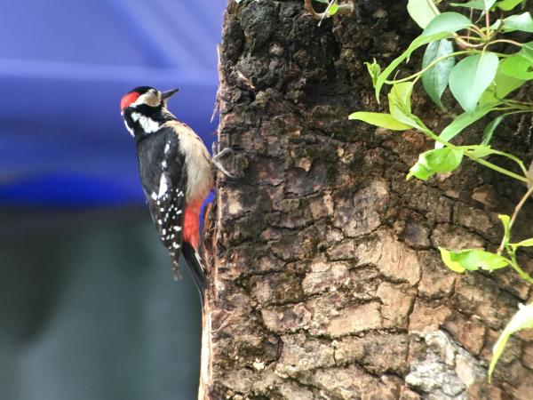 Great-spotted Woodpecker - Tonia Cochran - China Sichuan - Inala Nature Tours