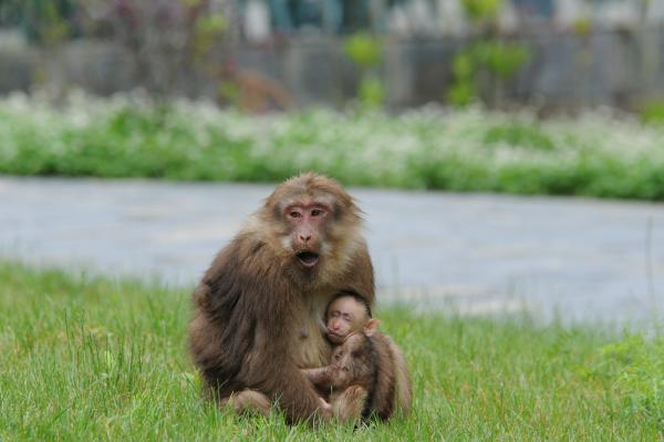 Tibetan Macaque - Philip He - China Sichuan - Inala Nature Tours
