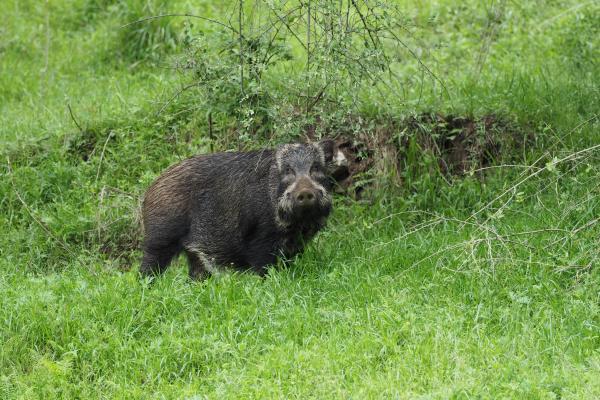 Wild Boar - Bella Zhang - China Sichuan - Inala Nature Tours