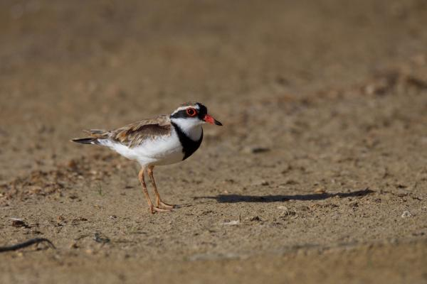 Black-fronted Dotterel - Inala Nature Tours - Peter Vaughan