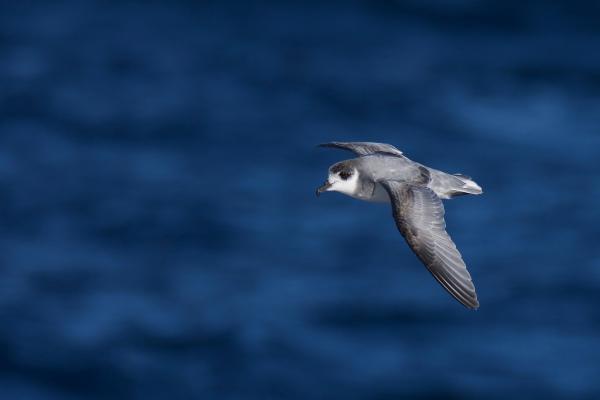 Blue Petrel - Inala Nature Tours - Peter Vaughan