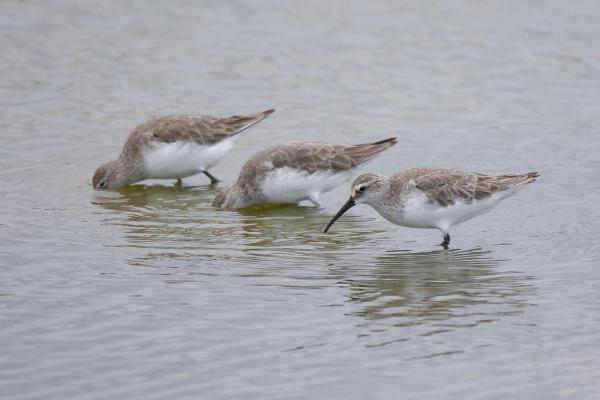 Curlew Sandpiper - Inala Nature Tours - Peter Vaughan