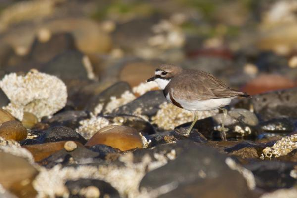 Double-banded Plover - Inala Nature Tours - Peter Vaughan