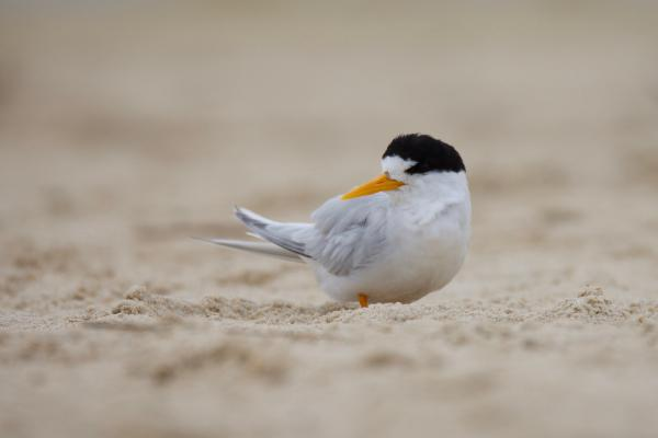 Fairy Tern - Inala Nature Tours - Peter Vaughan