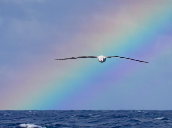 Gibson's Albatross - Inala Nature Tours - Peter Vaughan