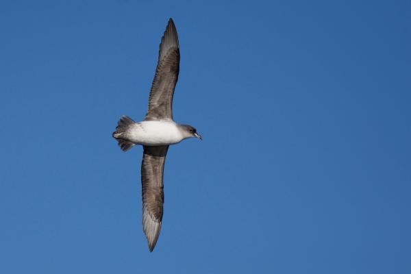 Grey Petrel - Inala Nature Tours - Peter Vaughan