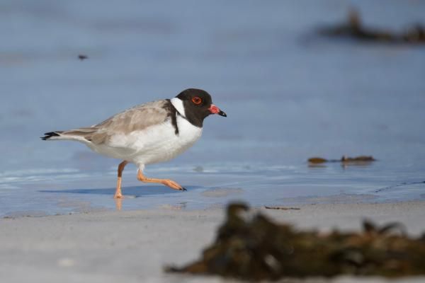 Hooded Plover - Inala Nature Tours - Peter Vaughan