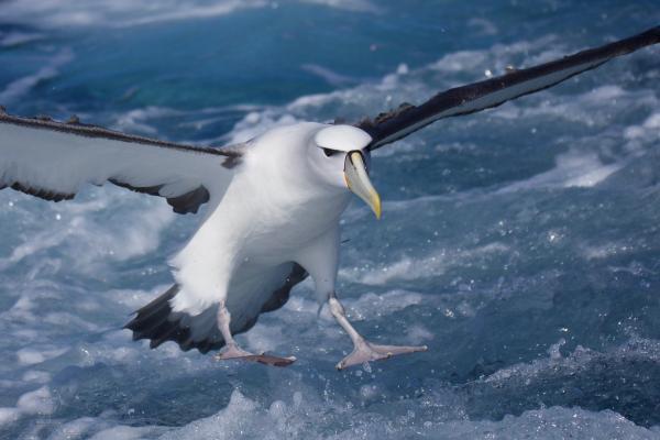 Shy Albatross - Inala Nature Tours - Peter Vaughan