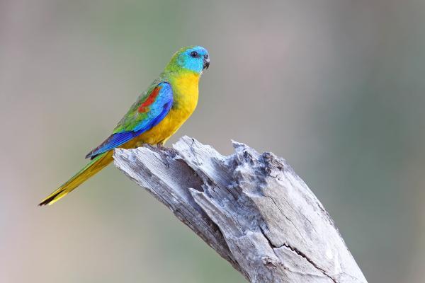 Turquoise Parrot - Chris Tzaros - Inala Nature Tours