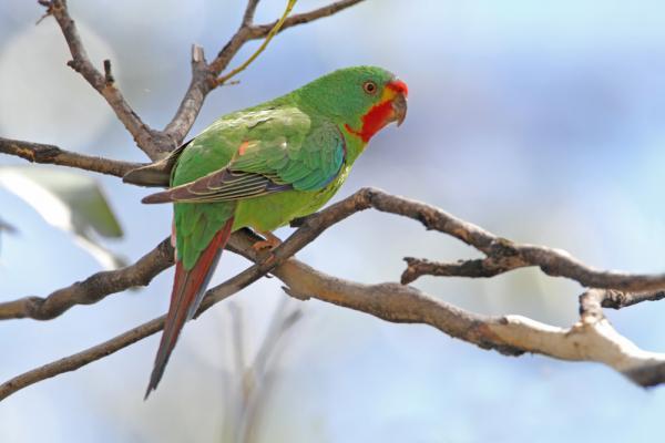 Swift Parrot - Tasmania Tours - Chris Tzaros - Inala Nature Tours