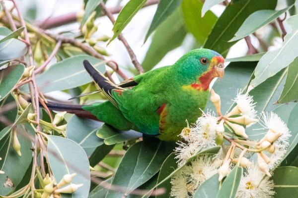 Swift Parrot - Colette Livermore - Inala Nature Tours