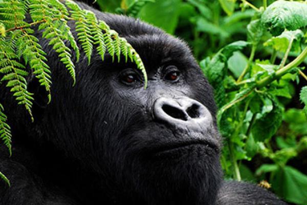 Gorilla - Herbert Byaruhanga - Inala Nature Tours