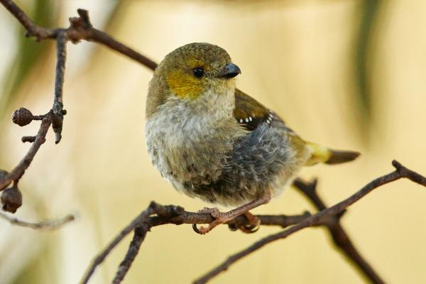 Forty-Spotted Pardalote - Bruny Island - Inala Nature Tours - Cindy Marple