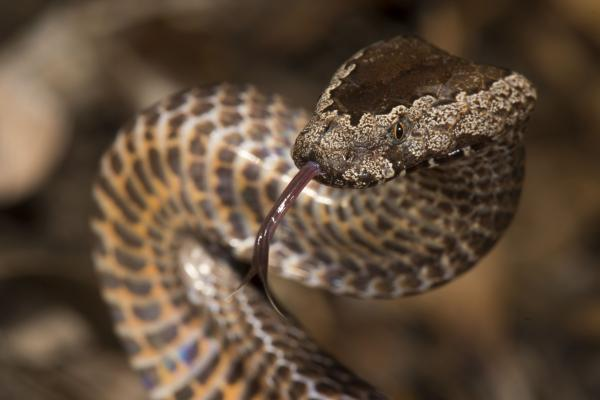 Golden-crowned Snake (Cacophis squamulosus) - Angus McNab - Inala Nature Tours