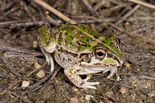 Rough Frog -  Angus McNab - Inala Nature Tours
