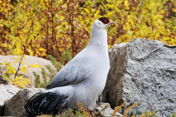 White Eared Pheasant - China Sichuan - Philip He - Inala Nature Tours