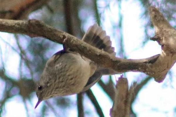 Catherine Young - King Island Brown Thornbill - Inala Nature Tours